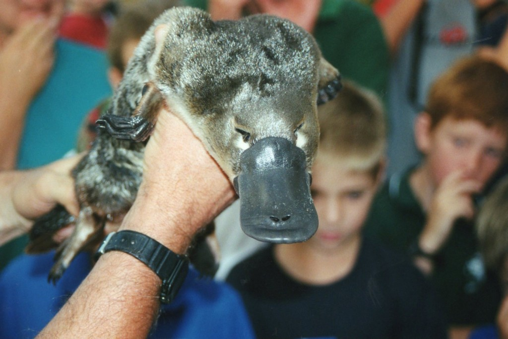 A platypus. Definitely not a duck's bill sewn onto a rat. How sick would that be?