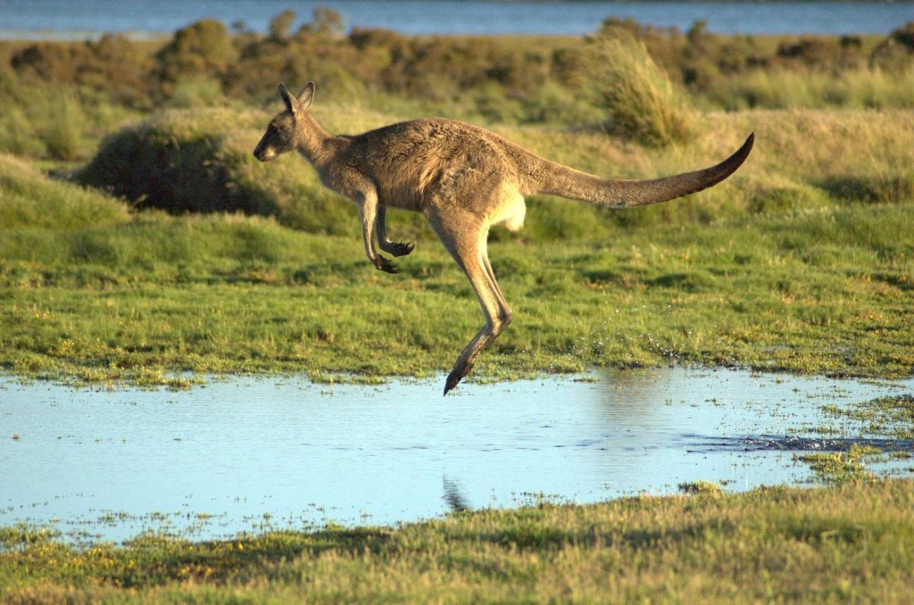 Well, it wouldn't be an article about Australia without a picture of a kangaroo. So here is one. You're welcome.